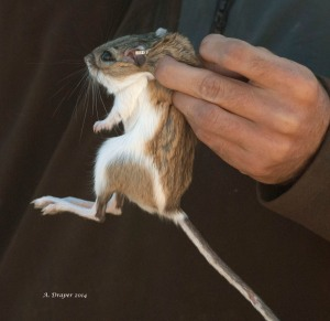Banner Tailed Kangaroo Rat DSC_0038-blog