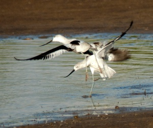 good fighting avocets-blog