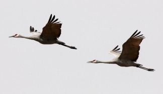 two cranes in flight